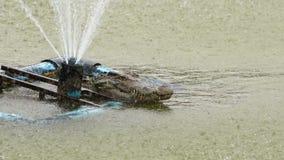 Krokodil met waterdaling stock videobeelden
