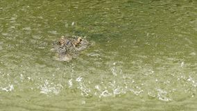 Krokodil met waterdaling stock video