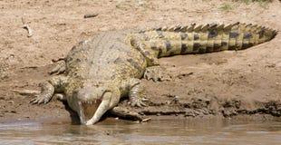 Krokodil mit dem Mund geöffnet Lizenzfreies Stockfoto