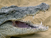 Krokodil mit geöffnetem Mund Stockbilder
