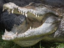 Krokodil mit geöffneten Kiefern Lizenzfreie Stockfotografie