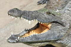 Krokodil mit offenem Mund Lizenzfreies Stockfoto
