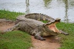 Krokodil mit offenem Mund Lizenzfreie Stockfotografie