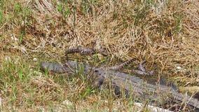 Krokodil mit Schätzchen stock video