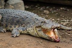 Krokodil mit verletztem Mund lizenzfreie stockfotos