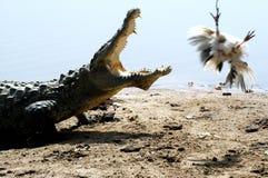 Krokodil nach einem Huhn Stockbild