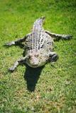 Krokodil-Nahaufnahme Stockfoto