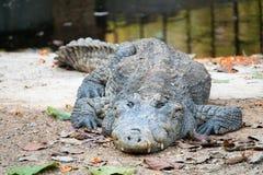 Krokodil nahe dem Wasser lizenzfreie stockbilder