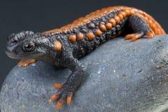 Krokodil Newt/Tylotriton-kweichowensis Lizenzfreie Stockbilder