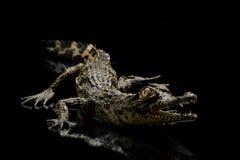 krokodil nile Arkivfoton