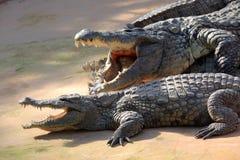 krokodil nile Royaltyfria Bilder