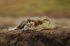 krokodil nile Arkivbild
