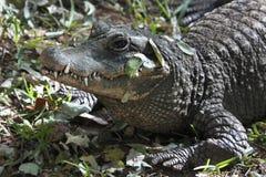 krokodil nile zimbabwe Royaltyfria Bilder