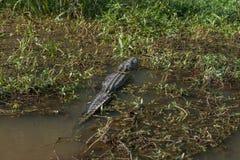 Krokodil och Honey Island Swamp Tour With vatten och träd i New Orleans, Louisiana royaltyfri fotografi