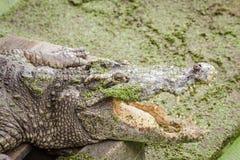 Krokodil och käke Arkivfoto