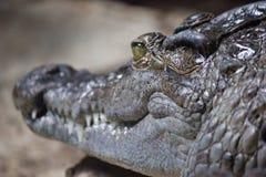 Krokodil onbeweeglijk Royalty-vrije Stock Afbeeldingen