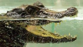 Krokodil onder water Stock Afbeeldingen