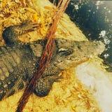 Krokodil op de jacht stock foto