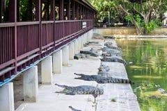Krokodil op een landbouwbedrijf, Thailand Stock Foto