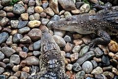 Krokodil op heel wat rotsen Stock Foto's