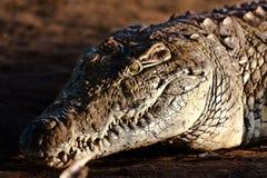 Krokodil op riverbank Stock Afbeeldingen