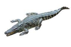 Krokodil op witte achtergrond. Royalty-vrije Stock Fotografie