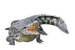 Krokodil op witte achtergrond wordt geïsoleerd die Stock Afbeeldingen