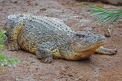 Krokodil op zand stock afbeelding