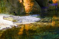 Krokodil på akvariet Dubai Arkivfoto