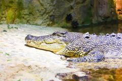 Krokodil på akvariet Dubai Royaltyfri Foto