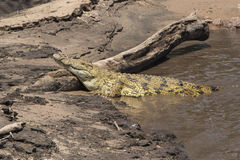 Krokodil på banken Royaltyfri Foto