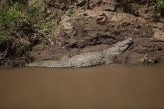 Krokodil på banken av Mara River Arkivfoton