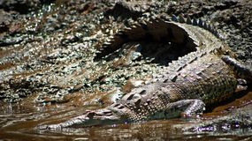Krokodil på den Sierpe floden Royaltyfri Bild