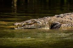Krokodil på den Sumidero kanjonen - Chiapas, Mexico Royaltyfri Bild