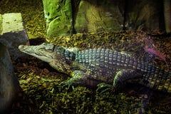 Krokodil på Exploris i Portaferry Royaltyfria Bilder