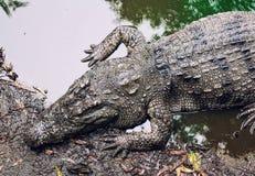 Krokodil på flodstranden Fotografering för Bildbyråer