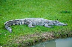 Krokodil på gräs Royaltyfri Fotografi