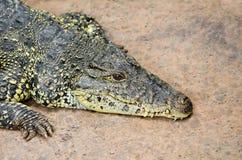 Krokodil på sand Arkivbild