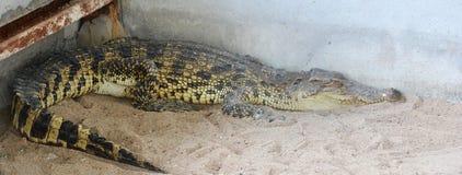 Krokodil på zoo Arkivfoton