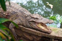Krokodil på jord Arkivfoton