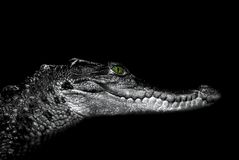 Krokodil: Porträt auf einem Schwarzen Lizenzfreies Stockbild