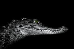 Krokodil: portret op een zwarte Royalty-vrije Stock Afbeelding
