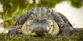 Krokodil am Rand des Wassers lizenzfreie stockbilder