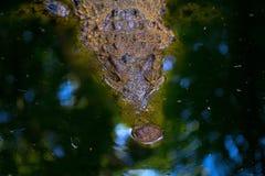 Krokodil in rivier Krokodille Hoofdclose-up Scherp tanden gevaarlijk dier Stock Foto's