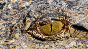 Krokodil ` s Auge, wenn wachsame Augen flüchtig blicken stock video