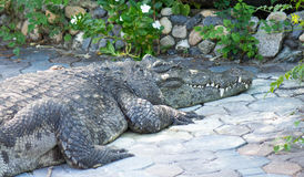 Krokodil saltvattens- Thailand Royaltyfria Bilder
