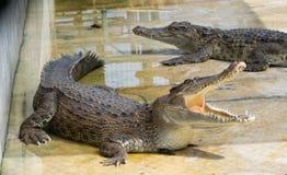 Krokodil saltvattens- Thailand Arkivfoton