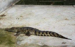 Krokodil saltvattens- Thailand Fotografering för Bildbyråer
