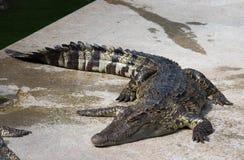 Krokodil saltvattens- Thailand Royaltyfri Bild