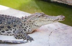 Krokodil saltvattens- Thailand Royaltyfria Foton
